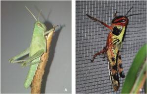 """Gafanhoto da espécie Schistocerca cancellata com coloração """"solitária"""" (A) e gregária (B). Fonte: Martina et al. (2019)"""