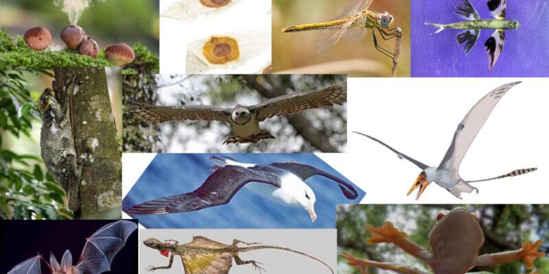 Cogumelo bufa-de-lobo, sementes de ipê, libélula, peixe voador, pterossauro, perereca planadora, dragão voador, morcego, colugo, harpia e albatroz (em sentido horário, a partir da esquerda indo para o centro). Fonte: Wikipedia