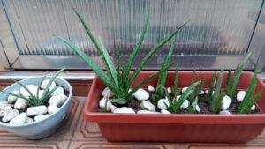 Babosas - Aloe vera var. chinensis (com pontos brancos). Foto: ViniRoger (set/2021)
