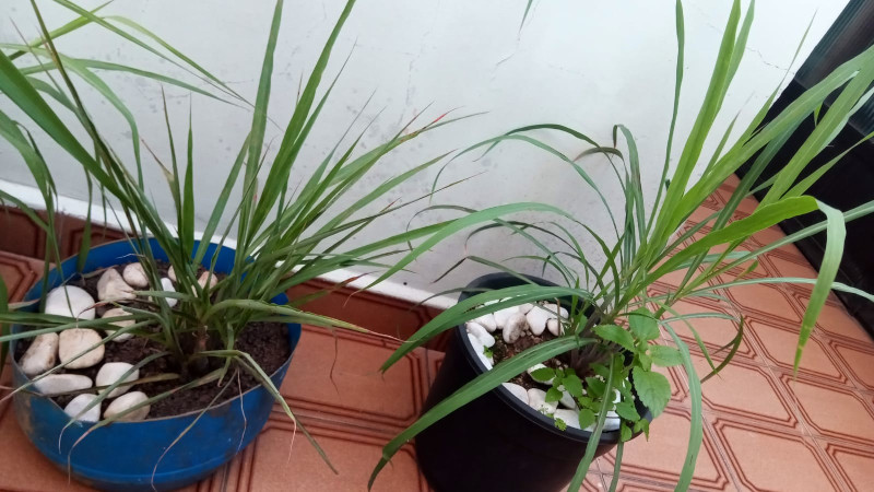Dois vasos com capim santo - e algumas plantas invasoras. Foto: ViniRoger (set/2021)