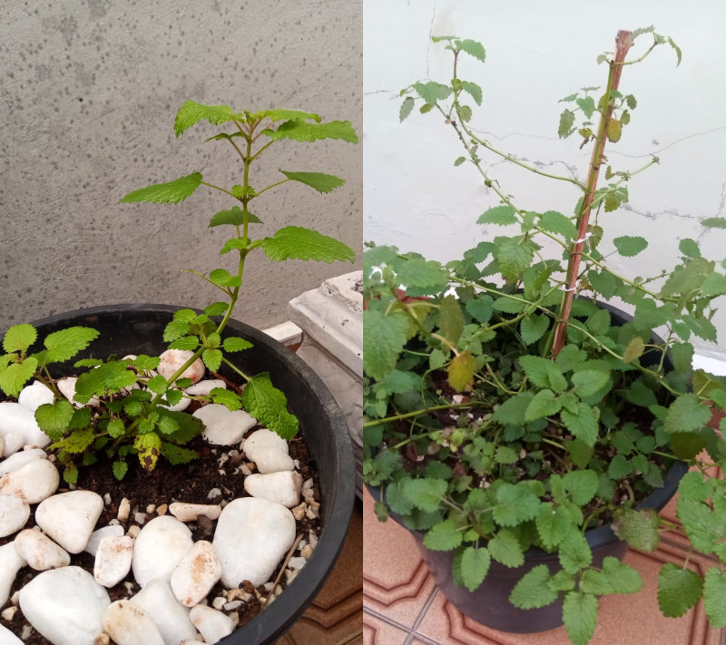 Erva-cidreira: muda recém-plantada (abr/2021) e desenvolvida (set/2021). Foto: ViniRoger