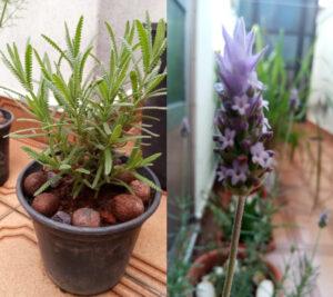Lavanda: muda (abr/2021) e flor em destaque (set/2021). Foto: ViniRoger
