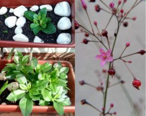 Visão geral da major-gomes em dois momentos e zoom nas flores e sementes. Foto: ViniRoger