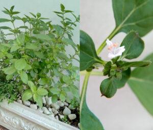 Manjericão: visão geral (ago/2021) e flor (abr/2021). Foto: ViniRoger
