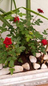 Roseira na jardineira com a citronela. Foto: ViniRoger
